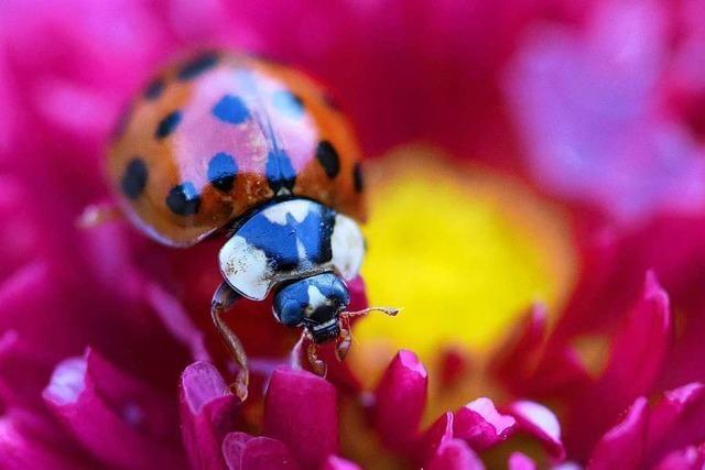 Wie die Gemeinden im Kandertal Käfer schützen