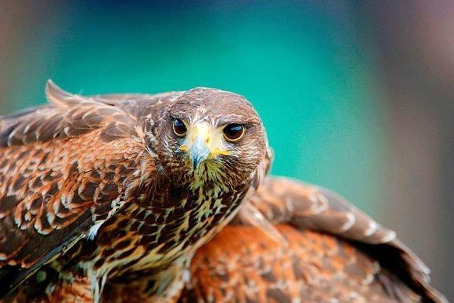 Ein Ornithologe gibt Tipps, wie man sich bei einem Greifvogel-Angriff richtig verhält