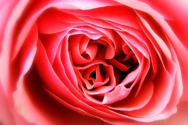 So schön blühen die Rosen dieses Jahr im Breisgau