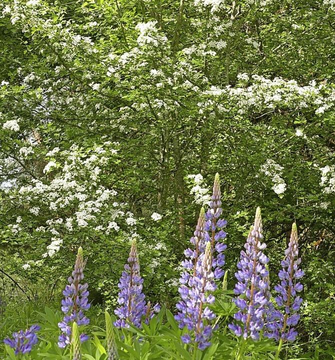 Lupinen vor einem Weißdornbusch, der sich von alleine angesiedelt hat.    Foto: Martin Wunderle