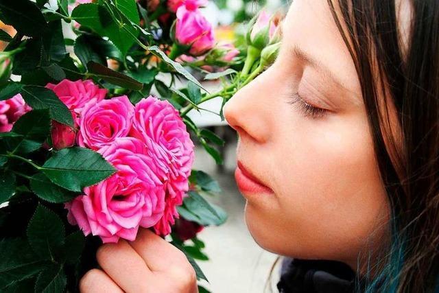 Im Breisgau blühen die Rosen dieses Jahr besonders schön