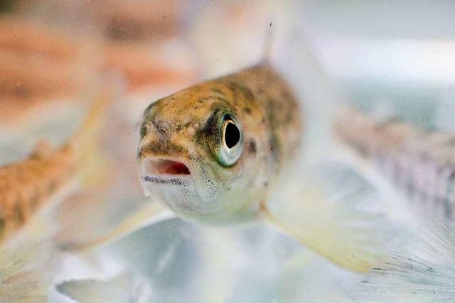 Warum wandern die Lachse?