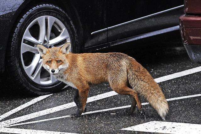 Der Fuchs schleicht sich in die Stadt