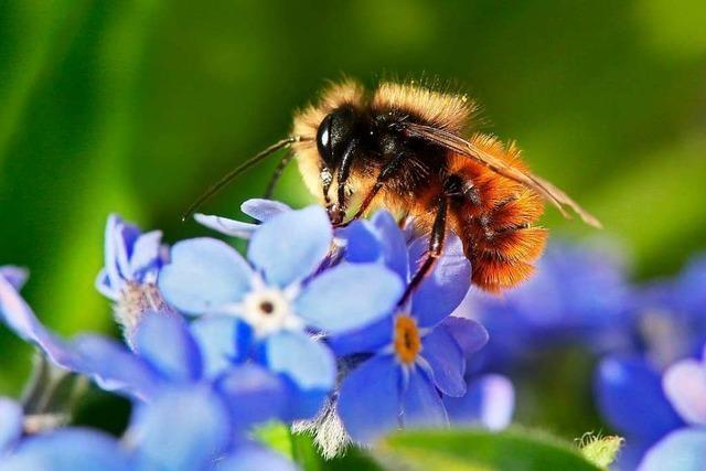 Verband vergibt kostenfreies Saatgut für die Anlage kleiner Wildbienen-Wiesen