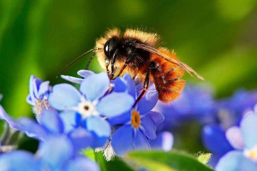 Die Bienenarten sind wählerisch: Viele...sede für ihre Nachkommen (Symbolbild).  | Foto: Stephanie Pilick