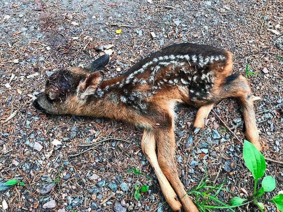 Ein oder zwei Wochen alt ist diese Kit...ters ein wildernder Hund totgebissen.   | Foto: Felix Dünnebacke