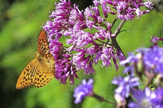 Zu Schmetterlingen und Raupen am Feldberg
