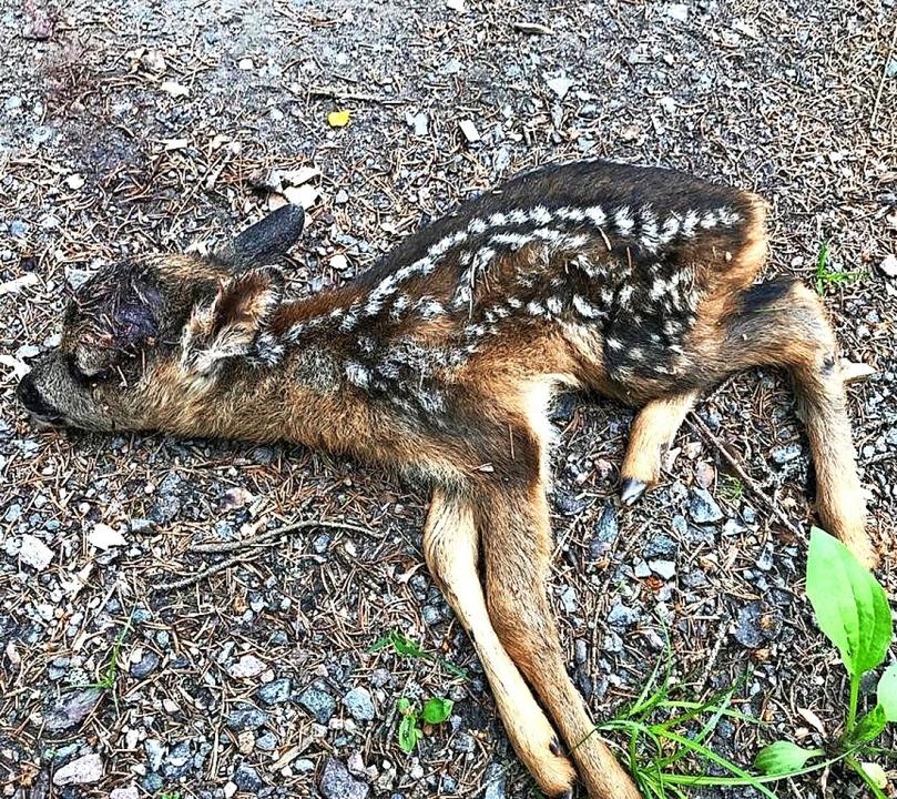 Das totgebissene Kitz war ein bis   zwei Wochen alt.   | Foto: Felix Dünnebacke