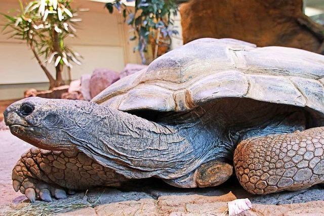 Riesenschildkröte Flunder im Karlsruher Zoo gestorben