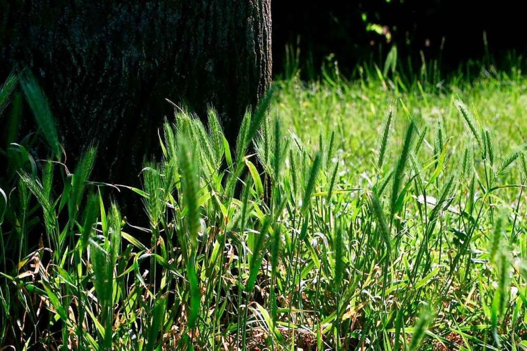 Die Mäusegerste wächst zum Beispiel an...raße und auch beim Haus der Begegnung.  | Foto: Harald Günther