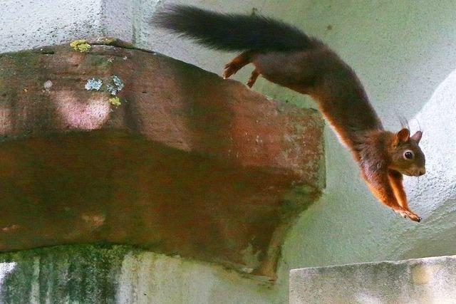 Sportliches Eichhörnchen auf dem Alten Friedhof
