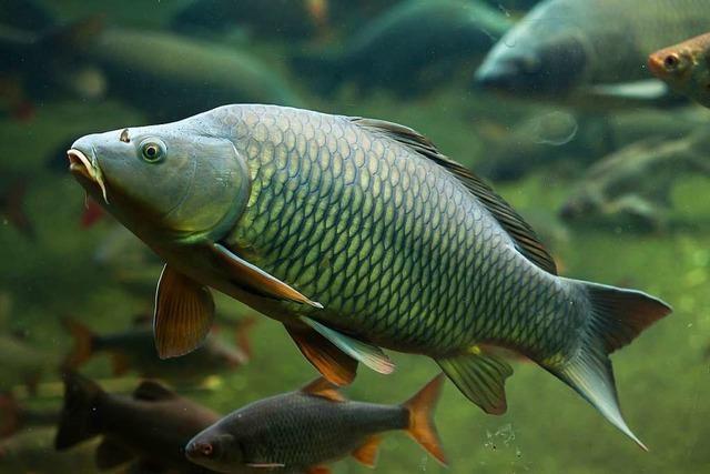 Haben Fische eigentlich Ohren?