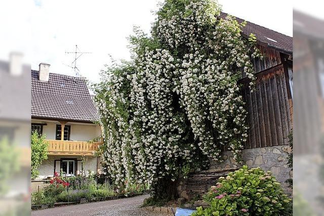BLÜTENLESE: Bienen lieben Rosennektar