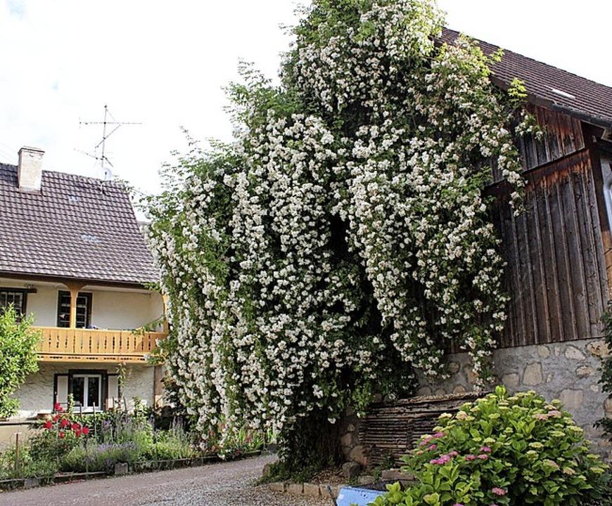 Üppig blüht die Ramblerrose an der Scheune von Franz Blender in Egringen.   | Foto: Victoria Langelott