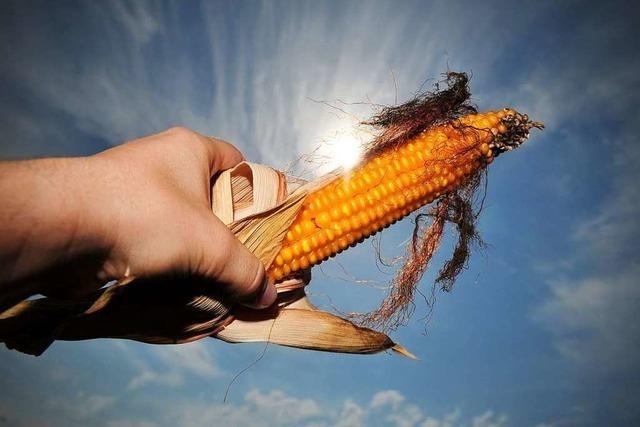 Landwirte müssen weniger Mais anbauen