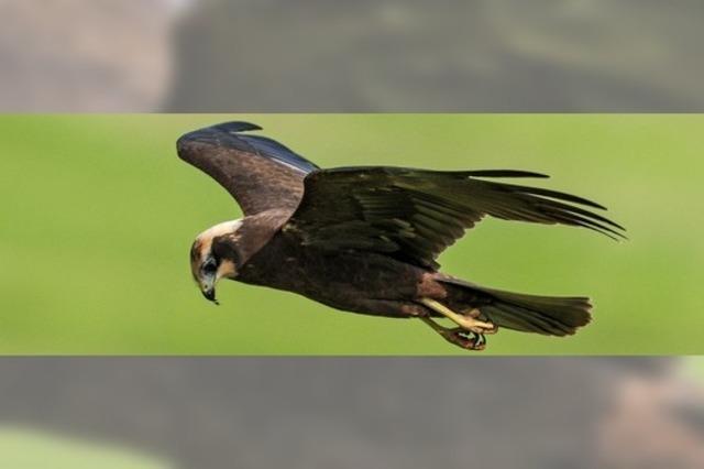 Rohrweihe begeistert Vogelkundler