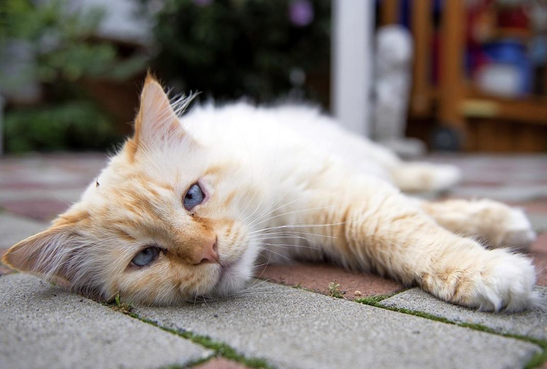 Um herrenlose Katzen wie diese kümmert... der Tierschutzverein Markgräflerland.  | Foto: Marius Becker