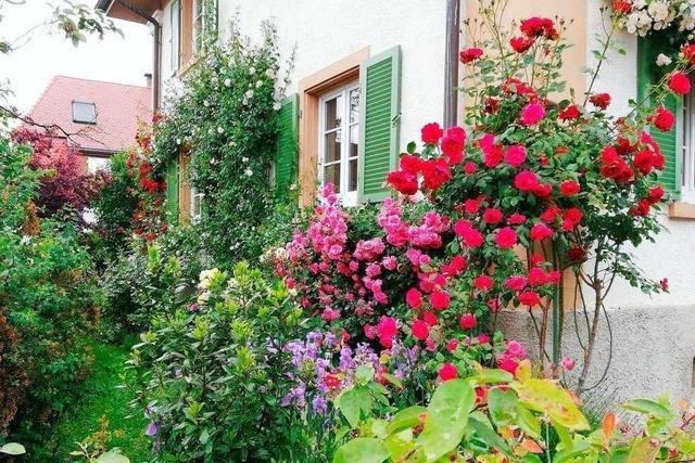Wo in Schopfheim die schönsten Rosen blühen