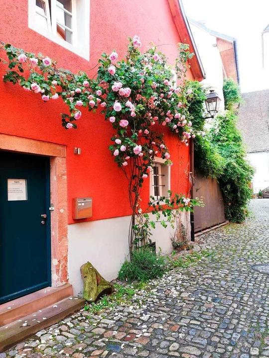 In Schopfheim – vor allem in der... Zeit prächtige Rosenstöcke bewundern.    Foto: Scholz