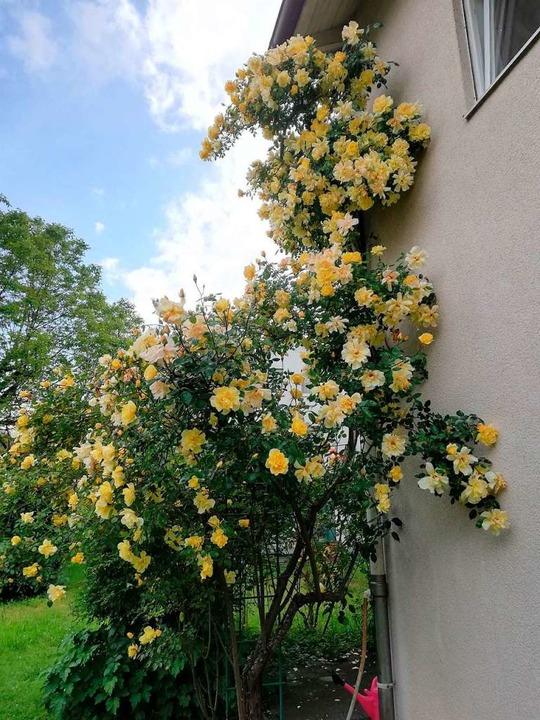 Der Rosenstock im Garten  von Hermann ...aße hat  ein Alter von über 40 Jahren.    Foto: Scholz