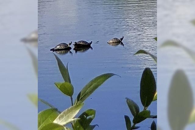 Drei Schildkröten im See