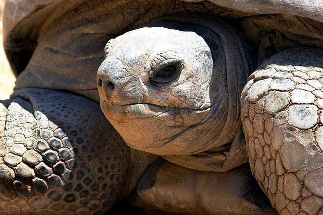Polizei nimmt Riesenschildkröte in Gewahrsam