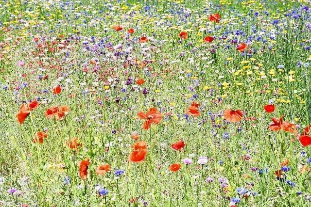 Imker appellieren an Privatleute, in Gärten für Blühwiesen zu sorgen