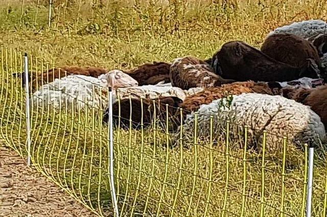 Schafe leiden ohne Schatten und Wasser – Anwohner wählen Notruf