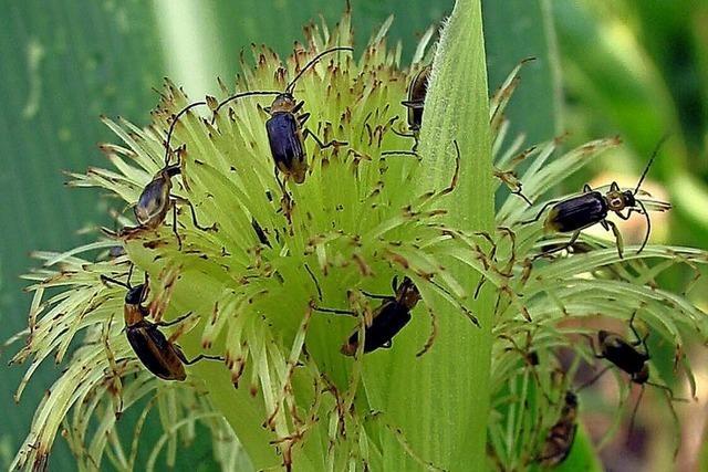 Naturschützer für stärkere Kontrolle beim Maisanbau