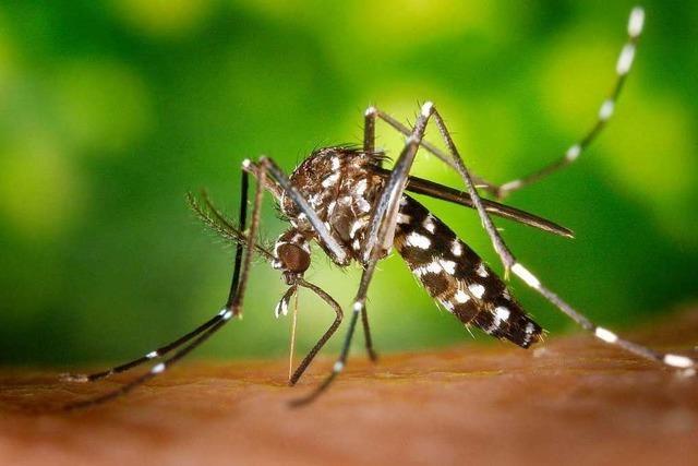 Der Kampf gegen die asiatische Tigermücke in Südbaden wird immer aufwändiger