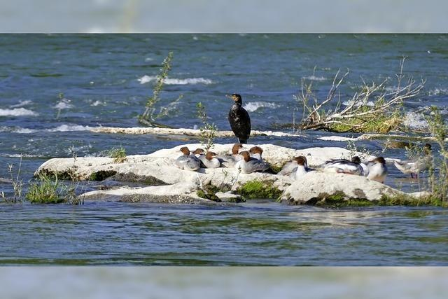 Wasservögel auf Isteins Schwellen