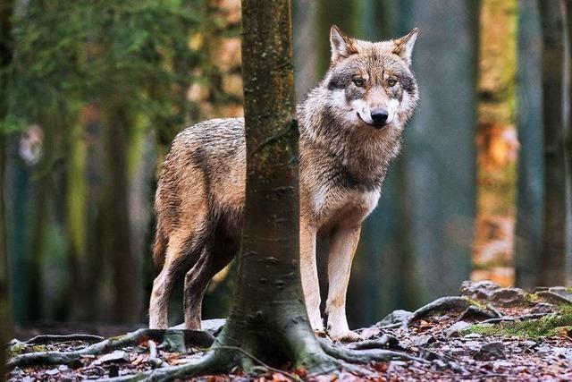 Im Landkreis Lörrach gibt es differenzierte Meinungen zur Rückkehr der Wölfe