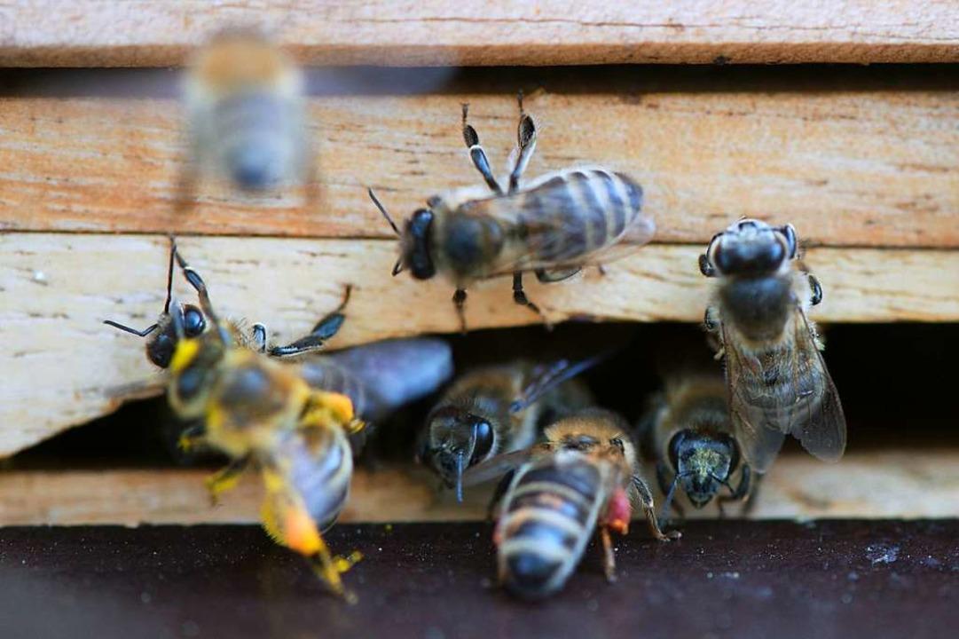 Auch die Biene ist vom Aussterben bedroht.   | Foto: Sebastian Kahnert