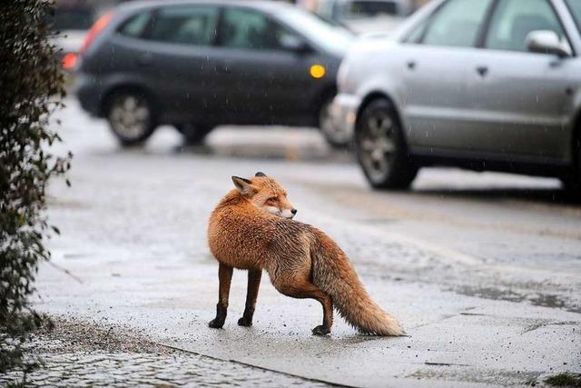 In Sachen Fuchs brauchen Städter Nachhilfe