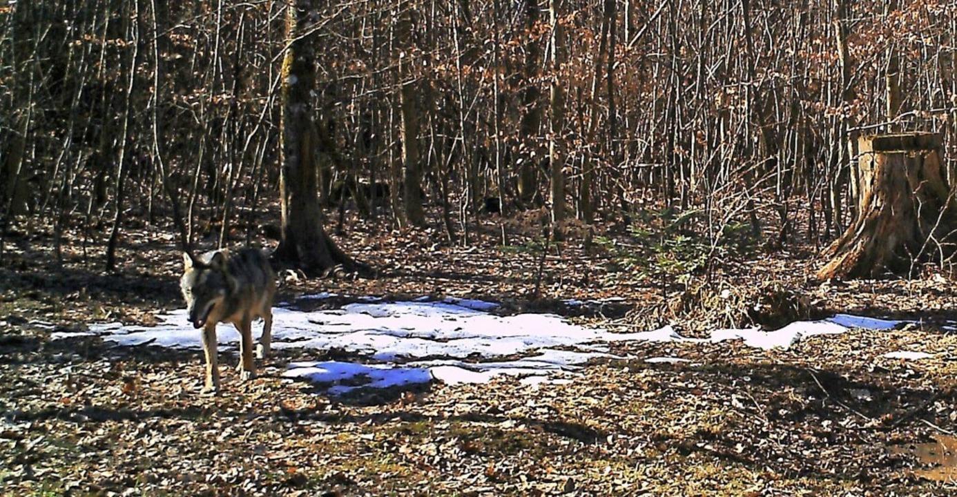 Ende Februar tappte in Erlinsbach im S...weise ein Wolf bei Bernau gesichtet.    | Foto: Departement Bau, Verkehr und Umwelt/AG
