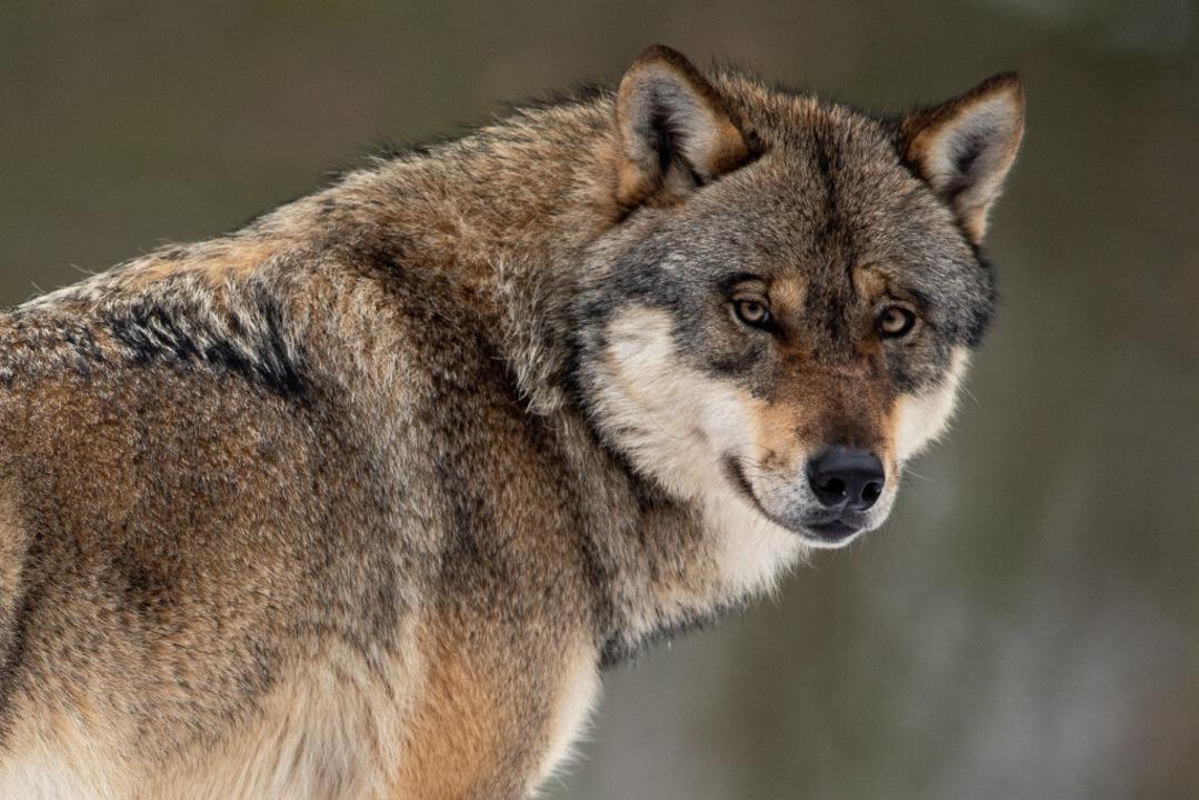 Ist ein Wolf im  Schwarzwald unterwegs?  | Foto: Swen Pförtner (dpa)