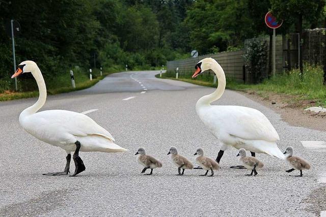 Schwanenfamilie macht einen Ausflug am Kieswerk in Niederrimsingen
