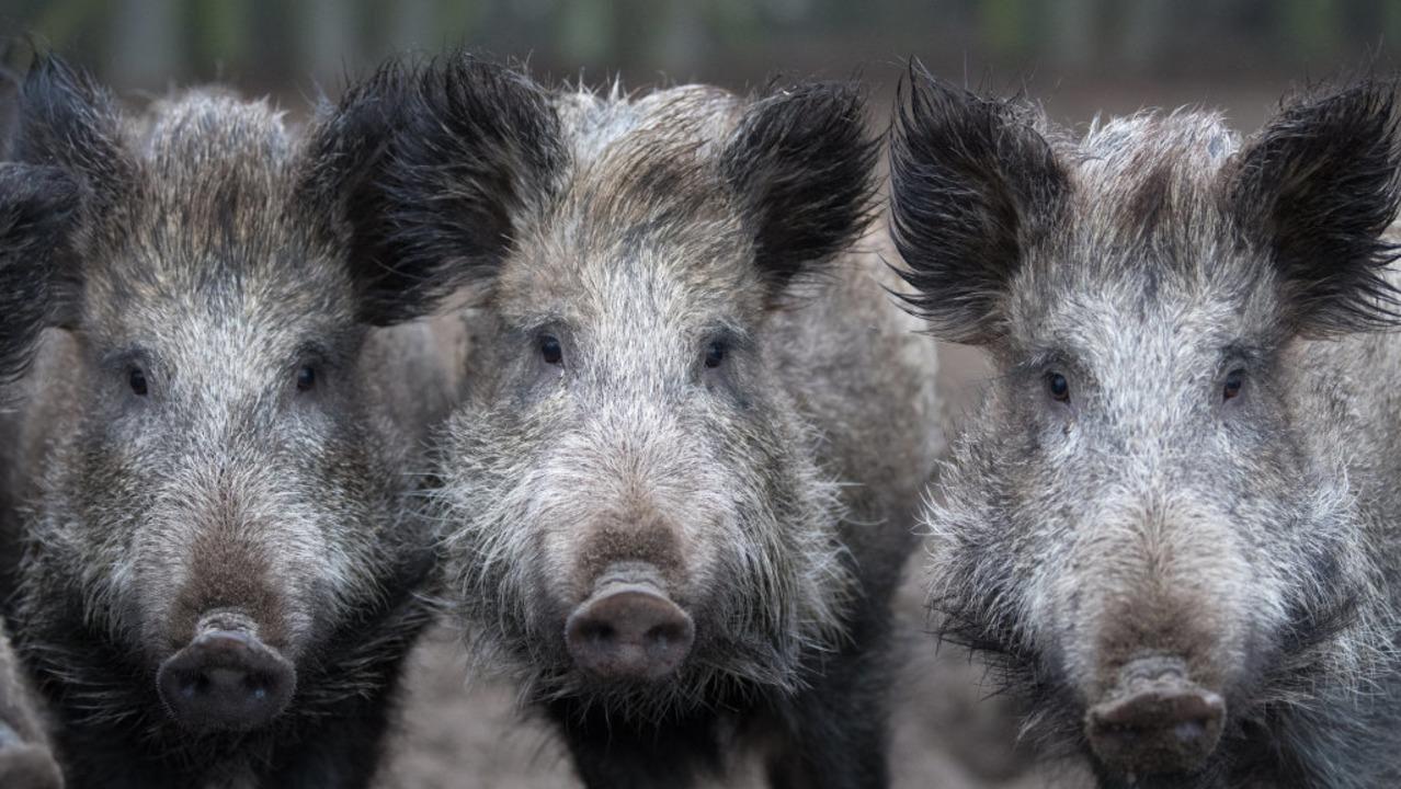Die Polizei hat Wildschweine als Täter ausgemacht.    Foto: Ralf Hirschberger