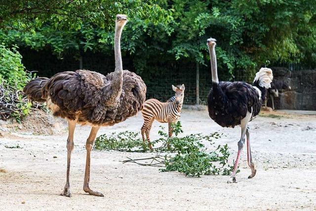 Im Zoo Basel ist ein neues Straußenpaar eingezogen