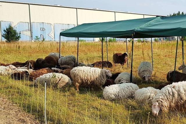 Schafe waren in Not – Schäferin darf ihre Herde behalten