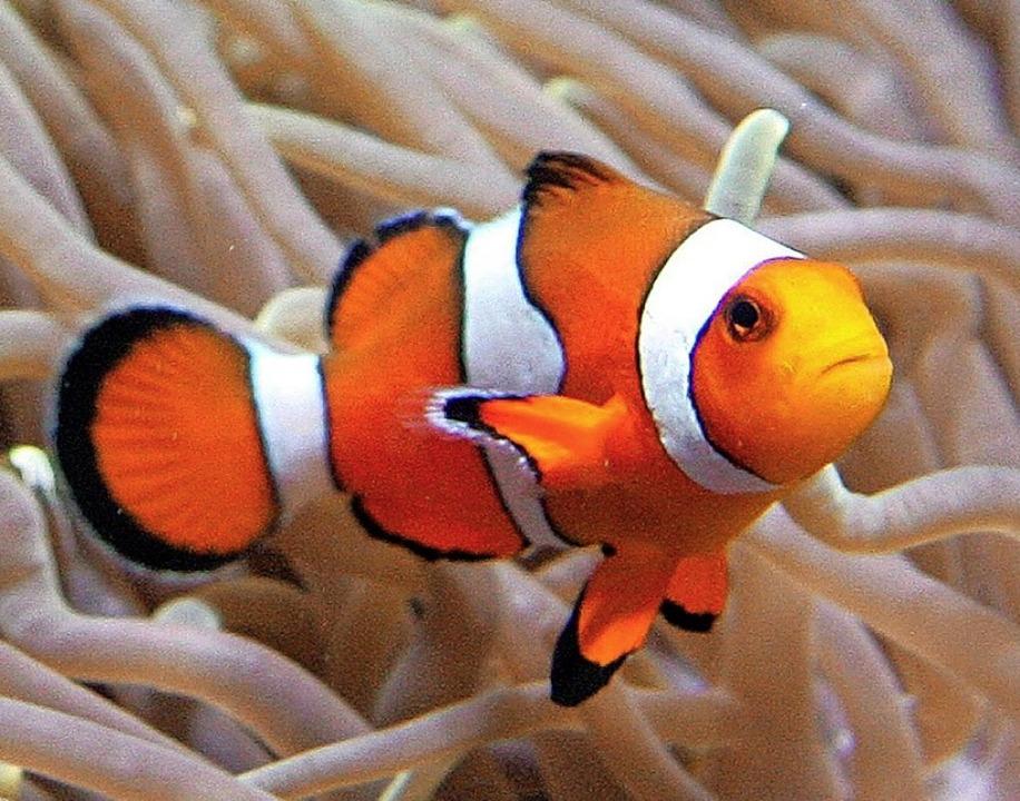 Clownfisch   | Foto: epa Ahmad Yusni