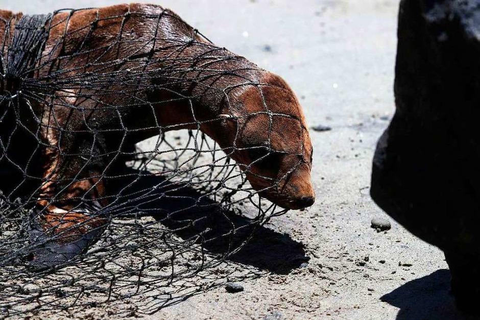Nur zu seinem Besten: Ein Seelöwe wird vom Marine Mammal Center in Carmel, Kalifornien, gefangen. (Foto: JUSTIN SULLIVAN (AFP))