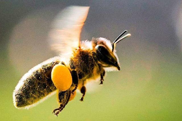 Pro Biene: Merdinger Landwirt baut Winterackerbohnen statt Mais an