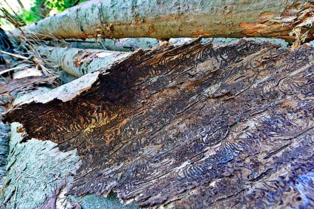 Wird der Borkenkäferbefall eines Baum ...ation aus  und fällt weitere Bäume an.  | Foto: Michael Bamberger