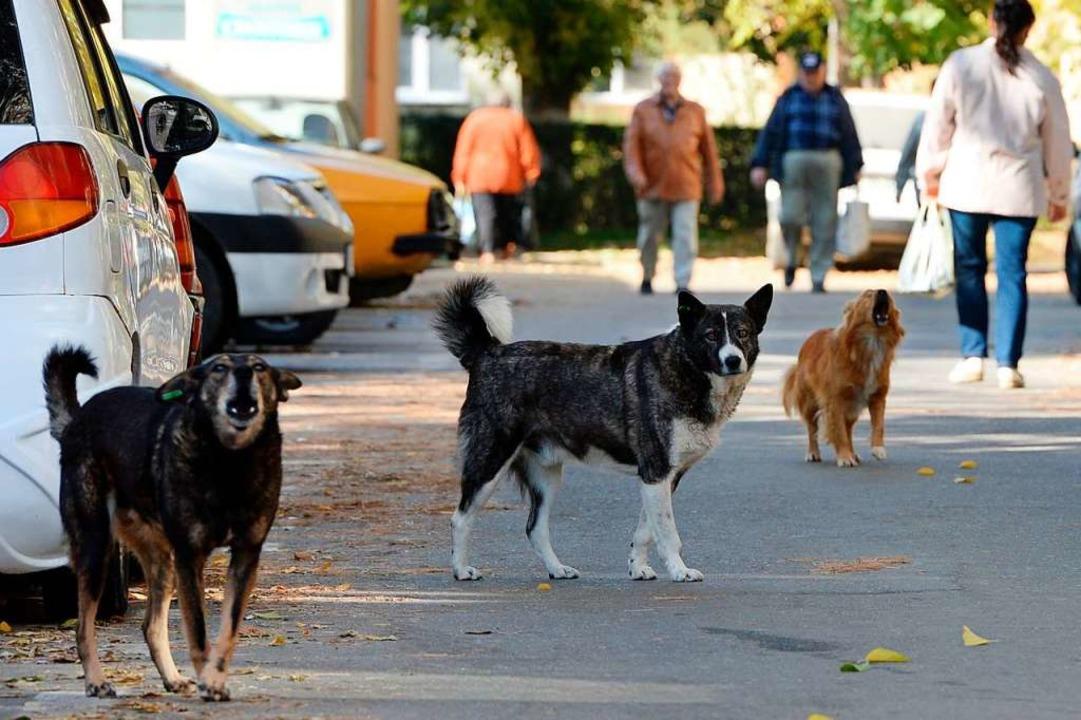 Streunende Hunde, hier in Rumänien, sind oft alles andere als harmlos.  | Foto: Jens Kalaene