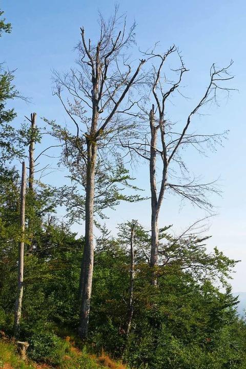 Die Bäume sterben von  oben nach unten...ne trieben sie keine Blätter mehr aus.    Foto: Jannik Jürgens