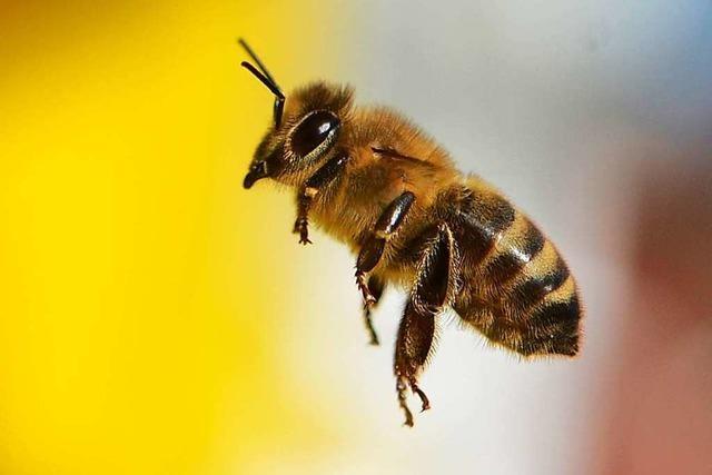 Streit um Bienen will nicht enden