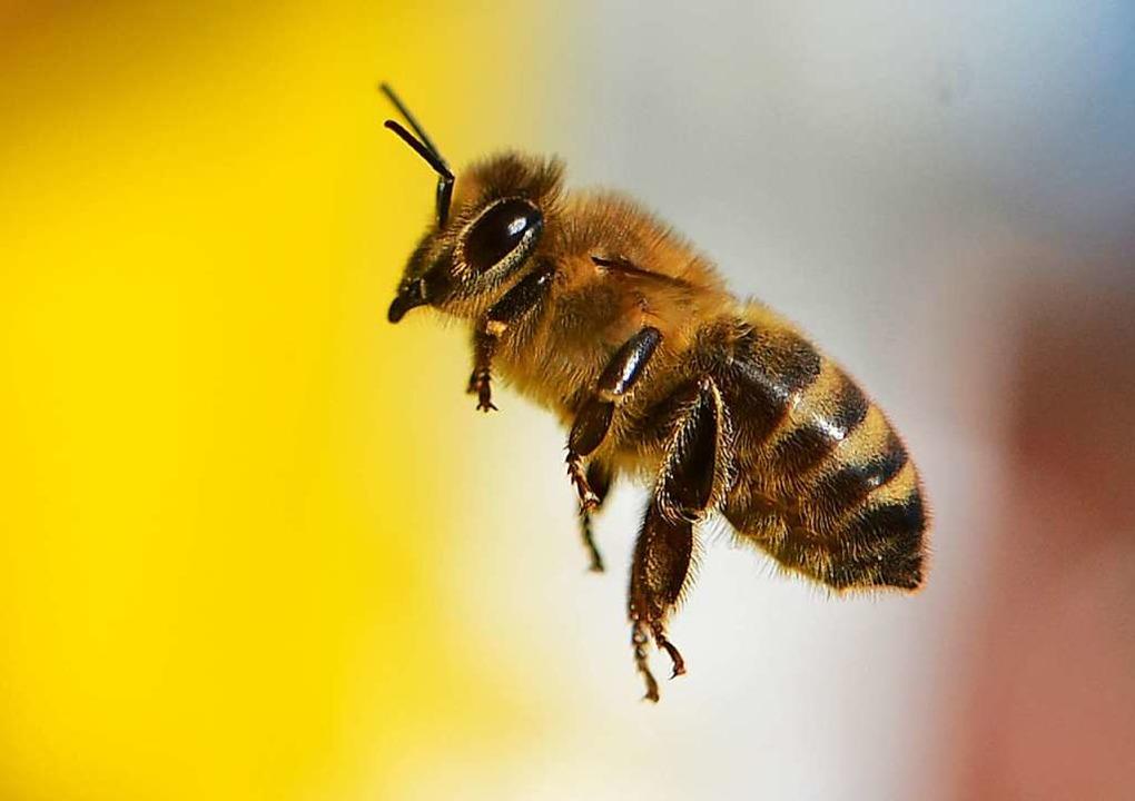 Wildbiene im Anflug  | Foto: Arne Dedert