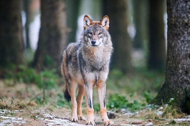 Wolfsbestände wachsen rasant
