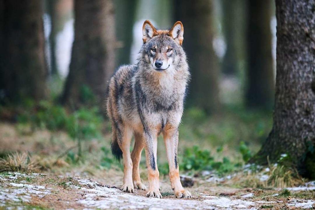 Die Zahl der Wölfe nimmt zu.  | Foto: Bernd Thissen (dpa)